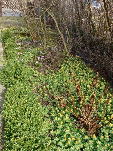 Dank umsichtiger GartenbesitzerInnen können Bienen mancherorts im Frühjahr reiche Beute machen: hier mit Winterlingen und Krokussen. (Foto: Birte Vogel)