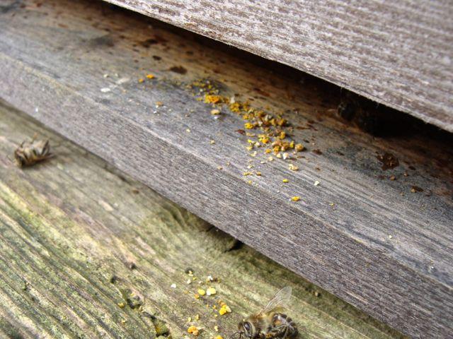 Strenge Hygiene im Bienenstock: Pollen, der am Eingang für nicht gut genug befunden wird, muss draußen bleiben.